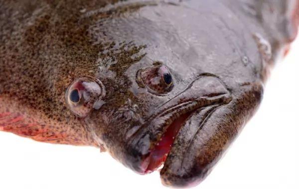سمك الهلبوت يمتلك عينين في جهة واحدة