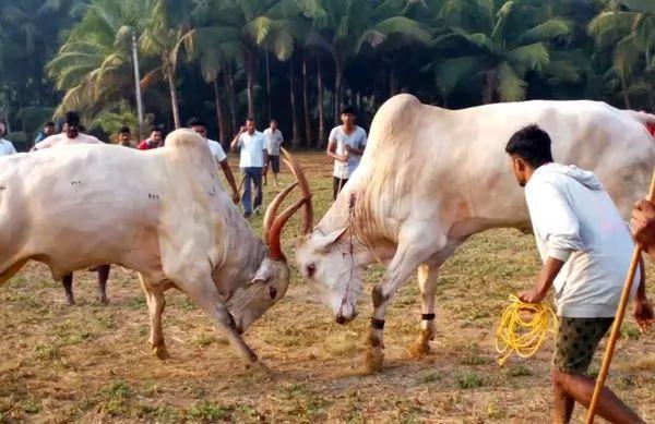 حيوان الثور يستخدم في رياضة مصارعة الثيران