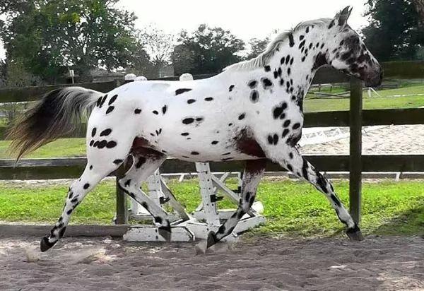 من اجمل الخيول في العالم الحصان الدلماسي