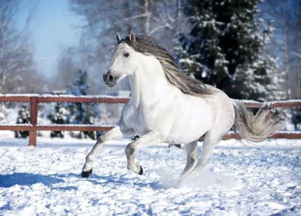 من اجمل الخيول في العالم الحصان الاندلسي