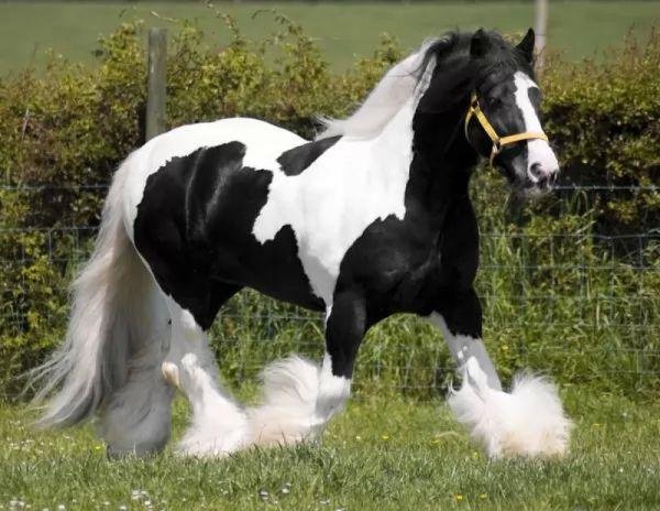 من اجمل الخيول في العالم الحصان الغجري