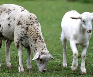 قبل ان نتحدث عن الفرق بين الماعز والغنم يجب اولا ان نعرف ان الماعز والاغنام ترتبط ببعضها البعض من خلال نفس العائلة، وهم أعضاء في عائلة بوفيداي او ...