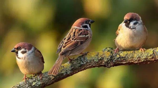 sparrow-bird-facts_1