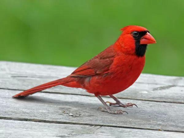 الكاردينال cardinal-bird_10285_