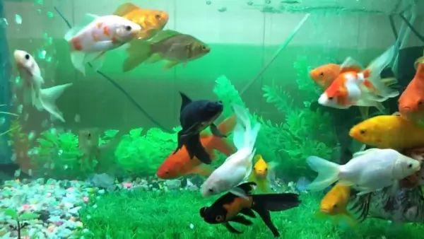 رعاية سمك الجولد فيش