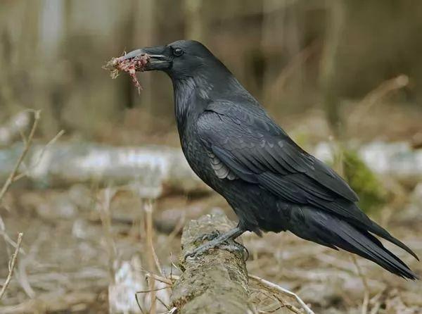 ماذا يأكل طائر الغراب ؟