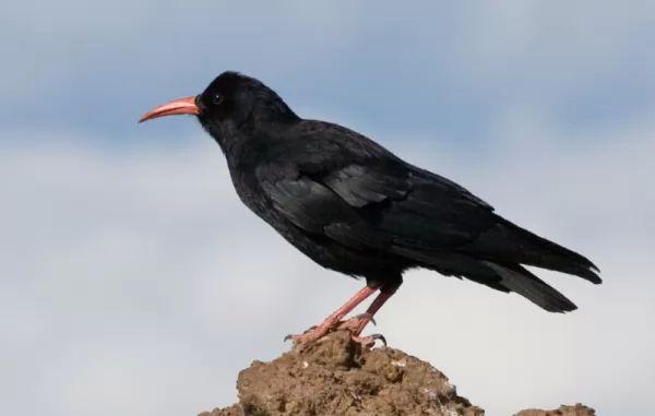 معلومات عن طائر الغراب