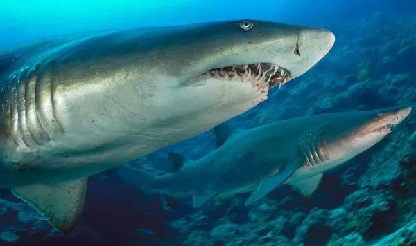 تكاثر سمك القرش النمر