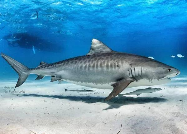 سمك القرش النمر من اخطر اسماك القرش في العالم