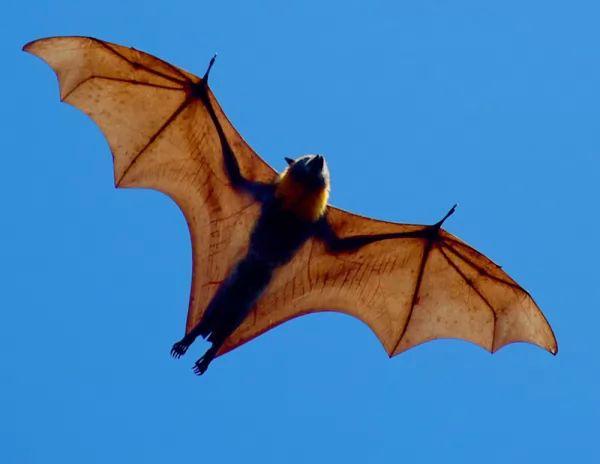 صفات الخفاش مصاص الدماء البدنية