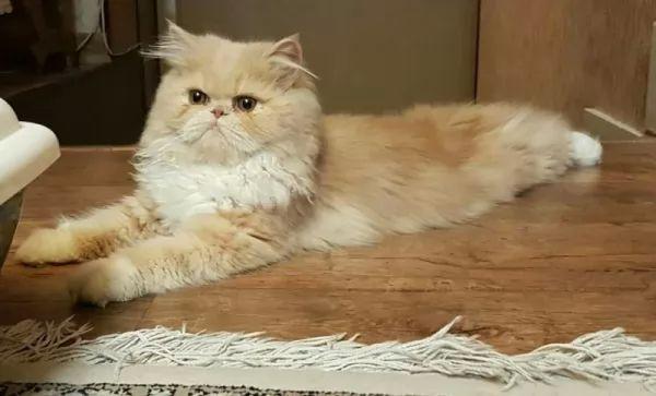 القط الشيرازي