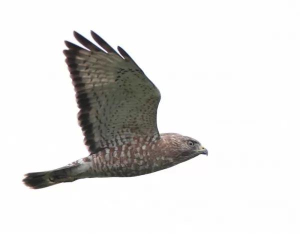 معلومات عن طائر الوقواق