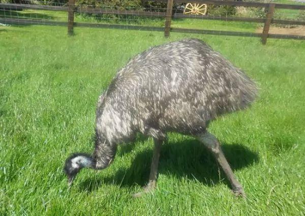 طائر الأمو Emu-facts_10373_1_1521402670