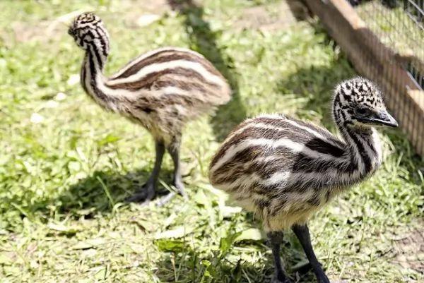 طائر الأمو Emu-facts_10373_2_1521402671