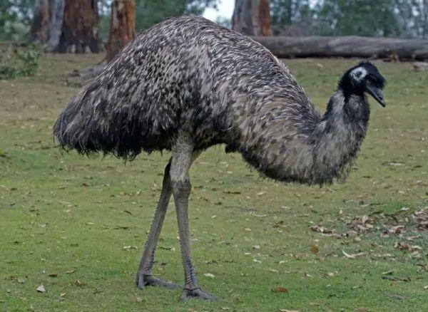 طائر الأمو Emu-facts_10373_4_1521402673