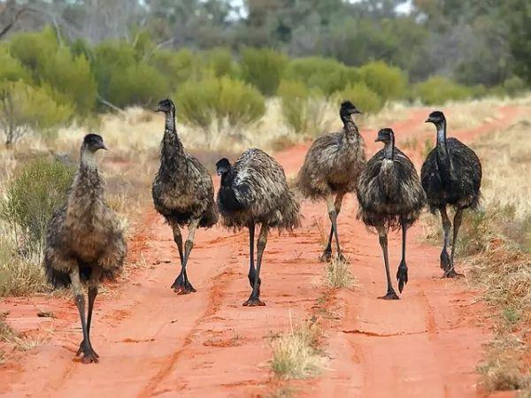 طائر الأمو Emu-facts_10373_5_1521402675