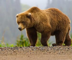 تعتبر الدببة من أكبر الثدييات آكلة اللحوم على الأرض، وهي ثقيلة جدًا لدرجة أن أكبر دب يبلغ وزنه ثلاثة أضعاف أو أكثر من وزن الأسد الكبير، وفي بعض ...