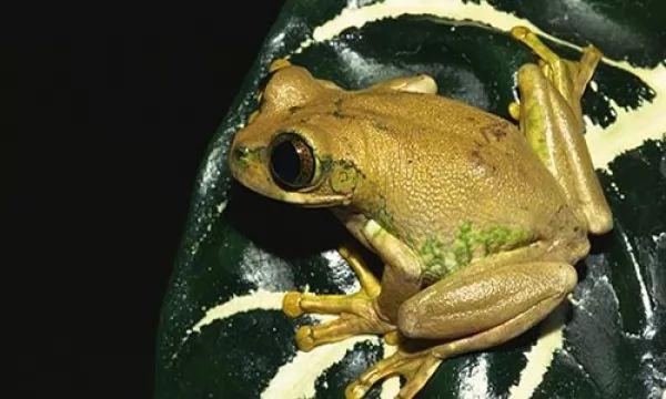الضفدع ذو السهم من أخطر الحيوانات السامه فى العالم Poison-arrow-frogs-facts_10435_1_1524701201