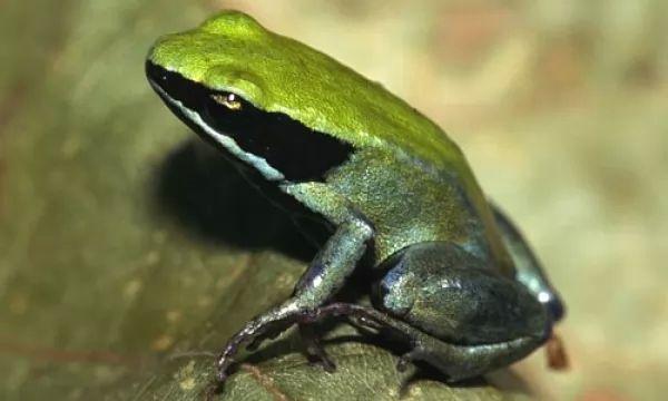 الضفدع ذو السهم من أخطر الحيوانات السامه فى العالم Poison-arrow-frogs-facts_10435_5_1524701205