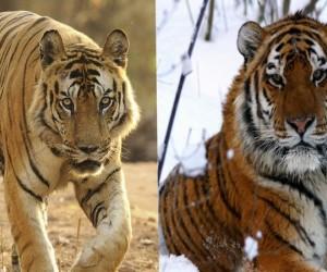 من أشهر أنواع النمور النمر السيبيري والنمر البنغالي، وقد تنخدع في البداية ولا تتمكن من التفريق بين النمر السيبيري والنمر البنغالي، ولكن هناك بالفعل ...