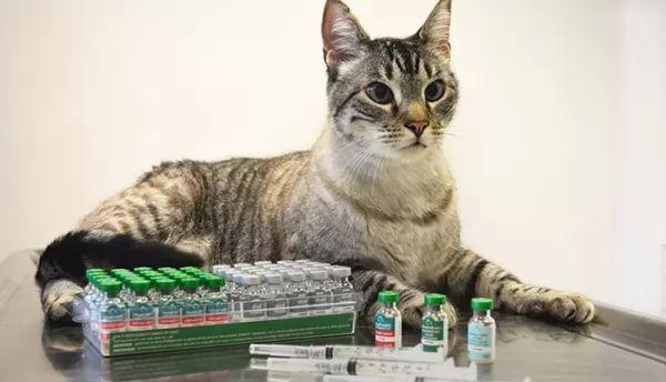 تطعيمات القطط الأساسية والغير أساسية ومواعيد الجرعات