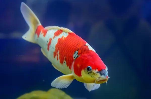 سمك الكوي