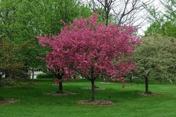 أشجار التفاح المزهرة Ornamental-trees_10544_1_1530653245