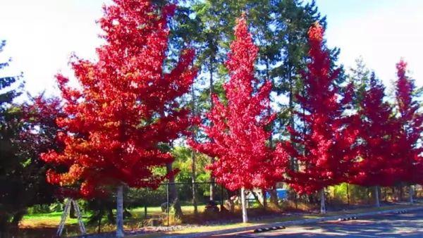 معلومات عن أشجار الصمغ الحلو Ornamental-trees_10544_7_1530653252