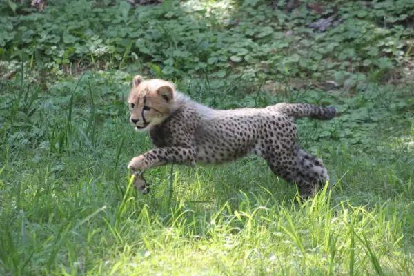 هل الشيتا من الحيوانات المعرضة لخطر الإنقراض ؟