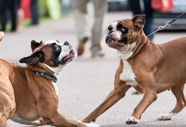 كلب البوكسر أحد أشرس أنواع الكلاب في العالم Boxer-facts_10654_1_1535029915