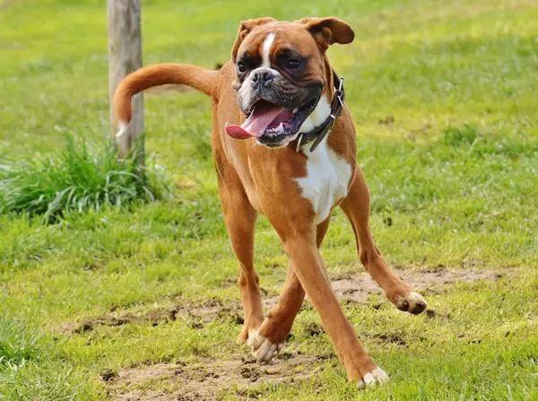 كلب البوكسر أحد أشرس أنواع الكلاب في العالم Boxer-facts_10654_4_1535029918