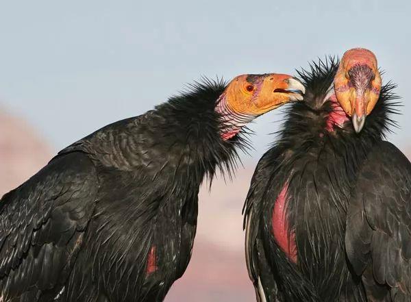 طائر الكوندور الكاليفورني العملاق Most-strange-birds-in-the-world_10651_10_1535015396