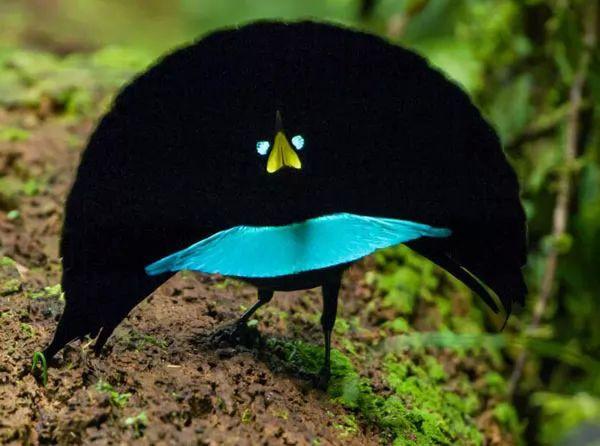 طائر الجنة الغريب والرائع Most-strange-birds-in-the-world_10651_1_1535015385
