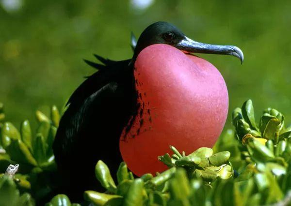 طيور فرقاطة الرائعة Most-strange-birds-in-the-world_10651_5_1535015389