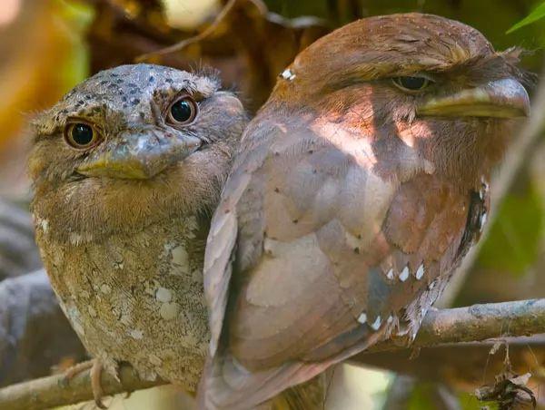 طائر فم الضفدع السريلانكي الالغريب Most-strange-birds-in-the-world_10651_9_1535015395