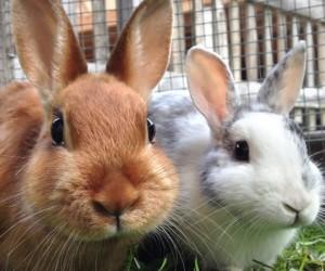 إذا كنت قد سمحت للأرانب الخاصة بك بالخروج من المنزل بدون إشراف، فأنت على دراية بقدرات المضغ المدمرة لهذه الأرانب الصغيرة، والأرانب في طبيعتها معدة ...