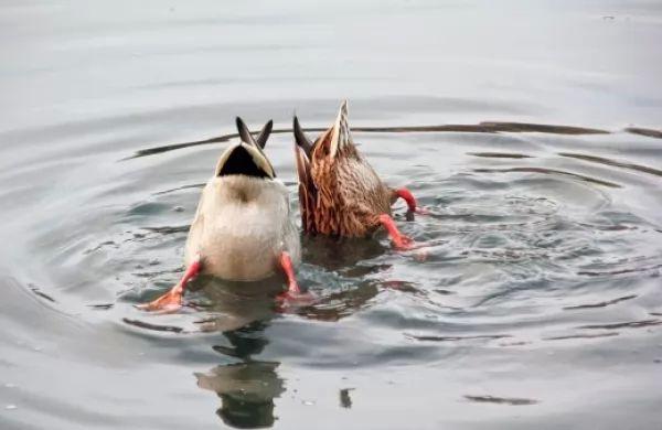 ما هي الأسباب التي تساعد البط على الطفو فوق سطح الماء؟ Duck-float_10689_1_1536801402