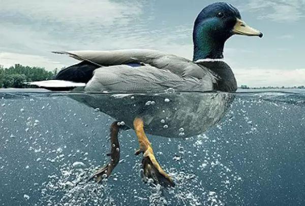 ما هي الأسباب التي تساعد البط على الطفو فوق سطح الماء؟ Duck-float_10689_2_1536801403