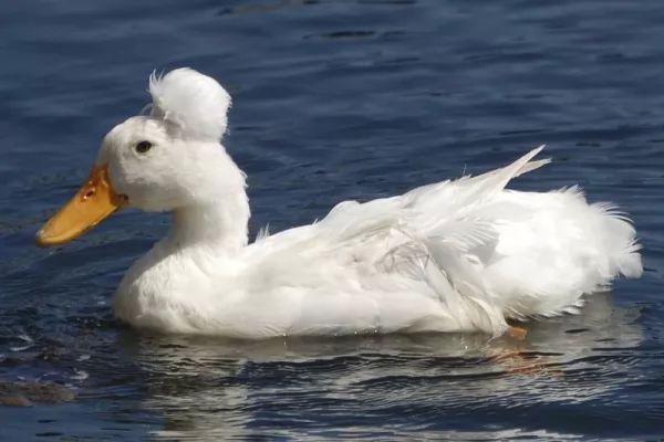 ما هي الأسباب التي تساعد البط على الطفو فوق سطح الماء؟ Duck-float_10689_3_1536801405