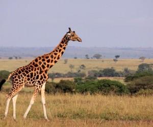الزرافة هي أطول الثدييات في العالم، فهي معروفة بطول عنقها، والذي يفترض أنه تطور من أجل تدعيم الزرافة بميزة رائعة في الوصول إلى أوراق الأشجار ...