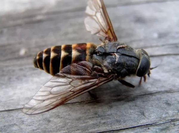 دورة حياة ذبابة النبر Life-cycle-botfly_10719_1_1538092764