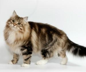 القطط السيبيرية واحدة من أنواع القطط النادرة في العالم، وعلى الرغم من أن القط السيبيري من سلالات القطط، إلا إنها تمتلك عدد من الصفات والمميزات التي ...