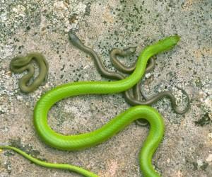 الثعابين هي فئة من الزواحف، ومعظم الأنواع من الثعابين تتبع القواعد العامة لتكاثر الزواحف، حيث تضع الإناث الأم مجموعة من البيض التي سوف تفقس لتخرج ...