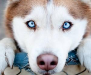 نتسائل كثيرا ماذا عن عيون الكلب المعبرة؟ وماذا يرى الكلب عندما ينظر إلينا أو إلى أي شيء يتواجد حوله؟ وعلى الرغم من الإعتقاد الخاطئ القديم، يستطيع ...