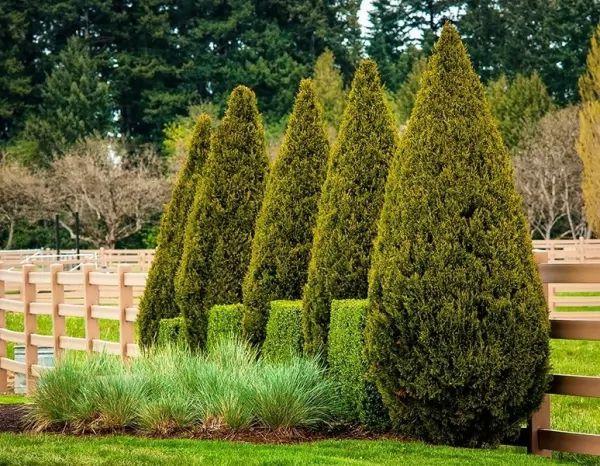 شجرة العرعر Evergreen-trees-types_10735_1_1538698266