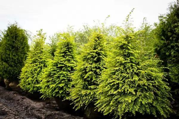 معلومات عن شجر الشوكران Evergreen-trees-types_10735_1_1538698776