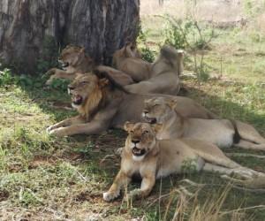 الأسد واحد من أشهر الحيوانات المفترسة الموجودة في العالم، أنه حقا ملك الغابة، ولكن هل تتخيل أن ملك الغابة أصبح من الحيوانات المهددة بالإنقراض !! نعم ...