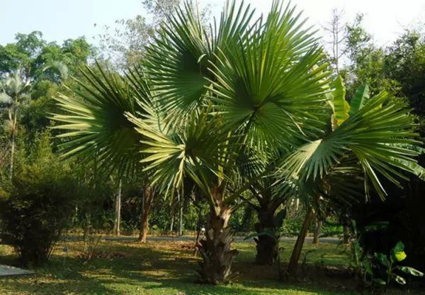 معلومات مذهلة عن أشجار النخيل بالصور Palm-trees-facts_10761_2_1539827385