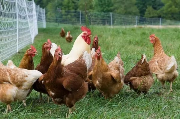 الدجاج ليس سيئا في الرياضيات أو العاطفة