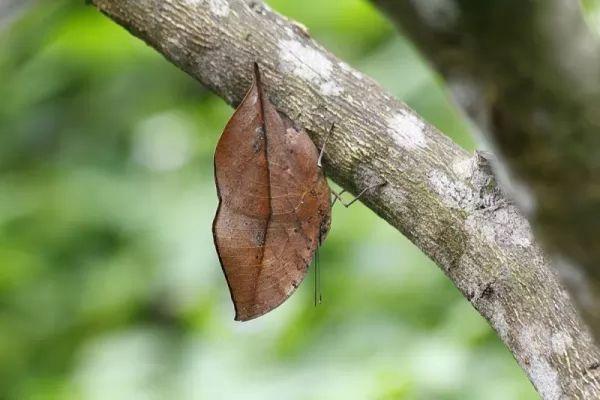 فراشة الورقة الميتة Insect-camouflage_10825_2_1542919011